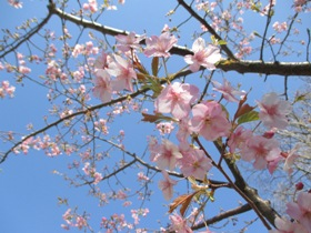 20170203河津桜